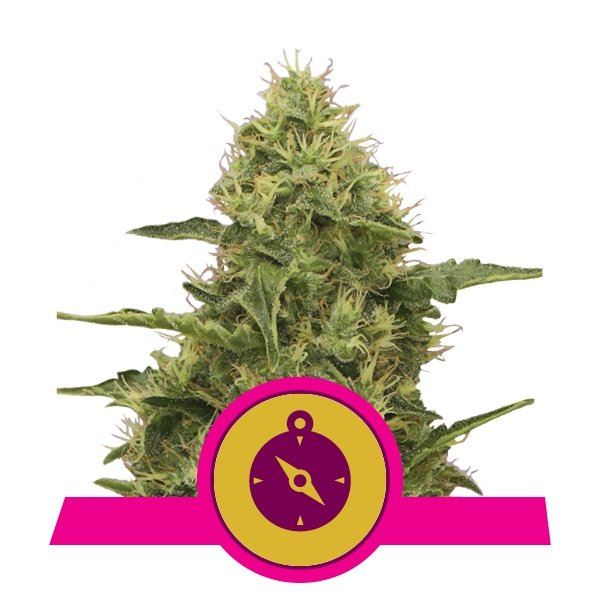 Buy Feminized Northern Light Cannabis