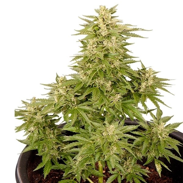 Critical + Autoflowering – Buy Critical + Auto cannabis seeds