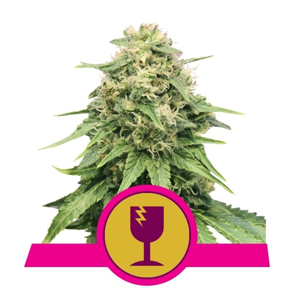 Buy Critical Feminized cannabis seeds