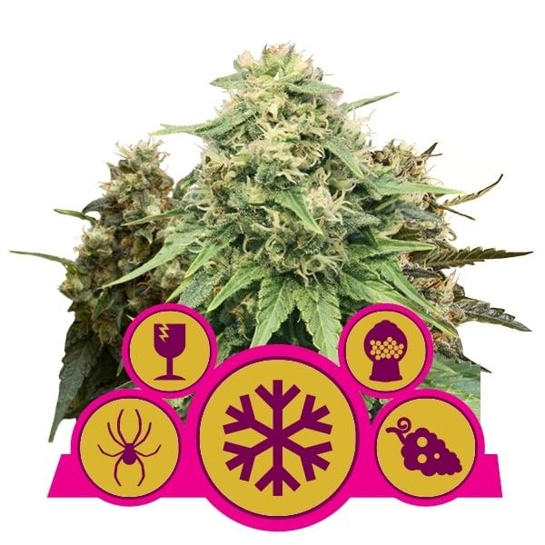 Feminized Mix Cannabis Seeds Royal Queen Seeds