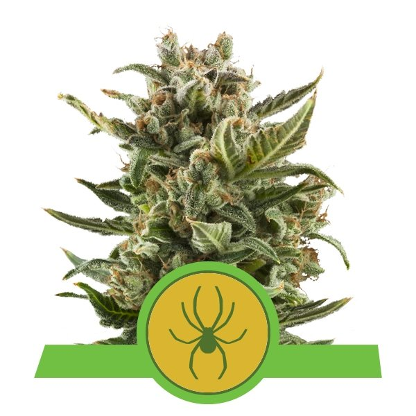 white widow automatic cannabis seeds