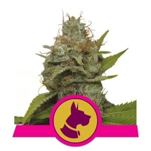 Buy Kali dog Feminized cannabis seeds