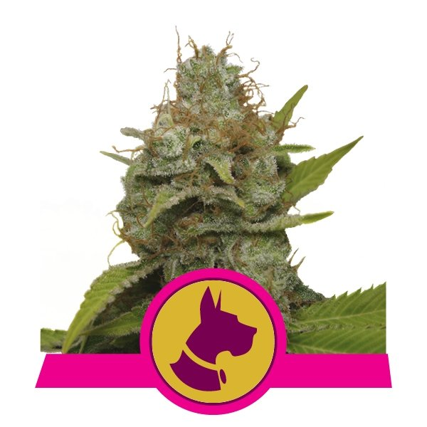 Kali Dog Cannabis Seeds