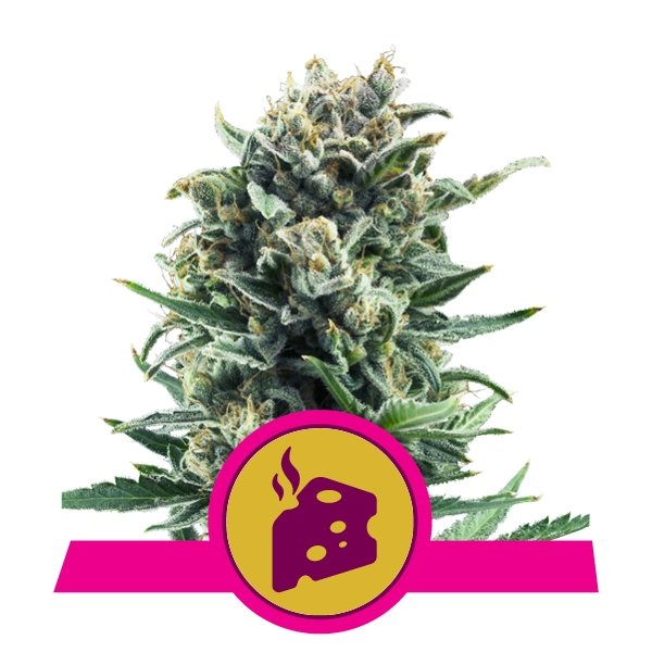 Buy Blue Cheese Feminized cannabis seeds
