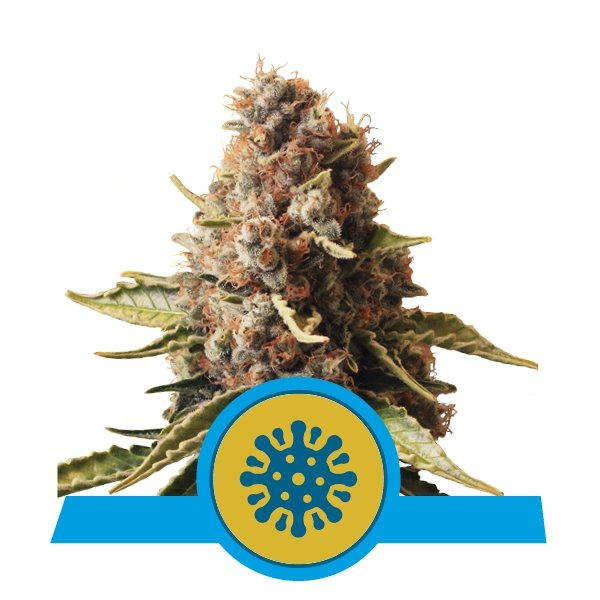 Buy Euphoria CBD cannabis seeds