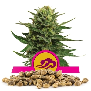 Blue Mystic Bulk Seeds
