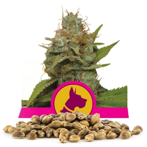 Kali Dog Bulk Seeds