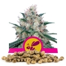 Honey Cream (Fast Flowering) Bulk Seeds