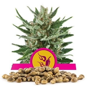Speedy Chile (Fast Flowering) Bulk Seeds