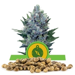 Northern Light Automatic Bulk Seeds