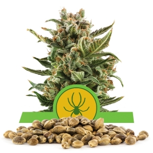 White Widow Automatic Bulk Seeds