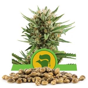 Sweet Skunk Automatic Bulk Seeds