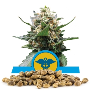 Royal Medic Bulk Seeds