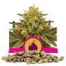 Royal Domina Bulk Seeds