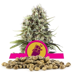 Chocolate Haze Bulk Seeds