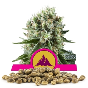 Critical Kush Bulk Seeds
