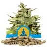 Stress Killer Automatic CBD Bulk Seeds