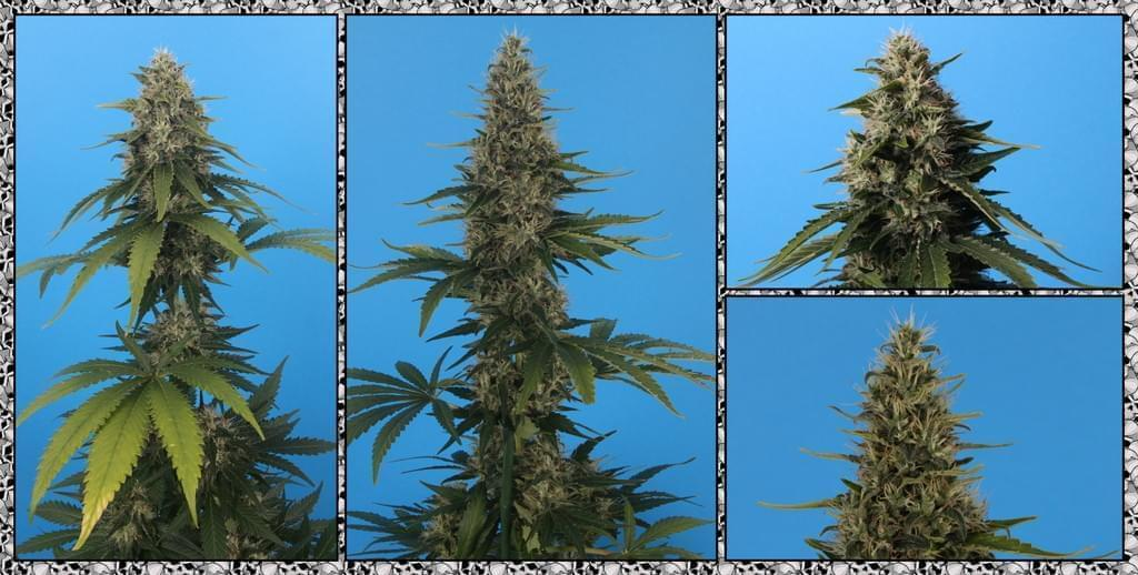 Moby Dick Feminized Cannabis Seeds