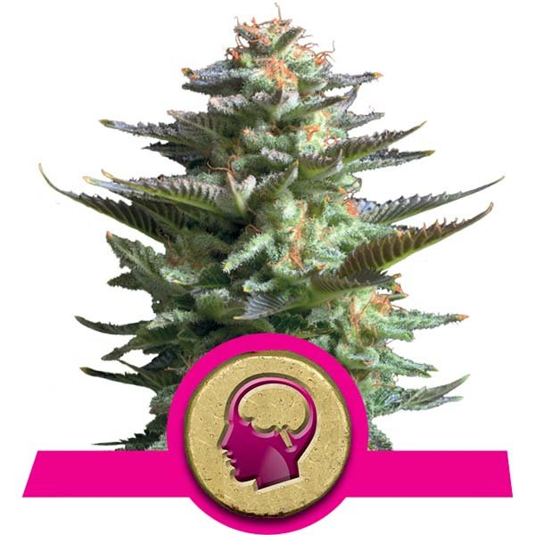 amnesia haze strain royal queen seeds