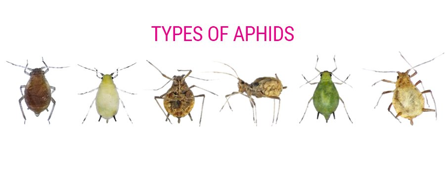 Types of aphids