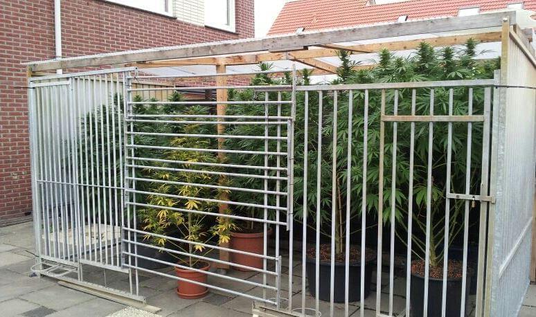 safe outdoor cultivation of cannabis