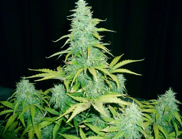 amnesia haze automatic ruderalis cannabis