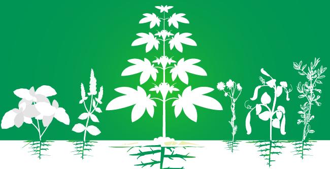 compañero de cannabis cultivo aumentan eficiencia de plantación orgánica