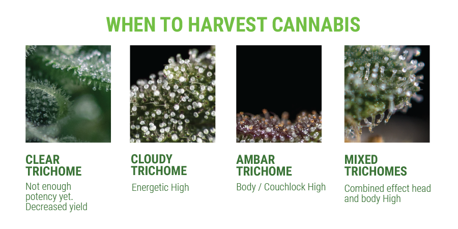trichomes effects values