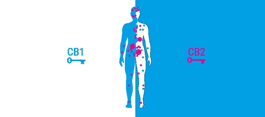 body receptors cannabinoid system