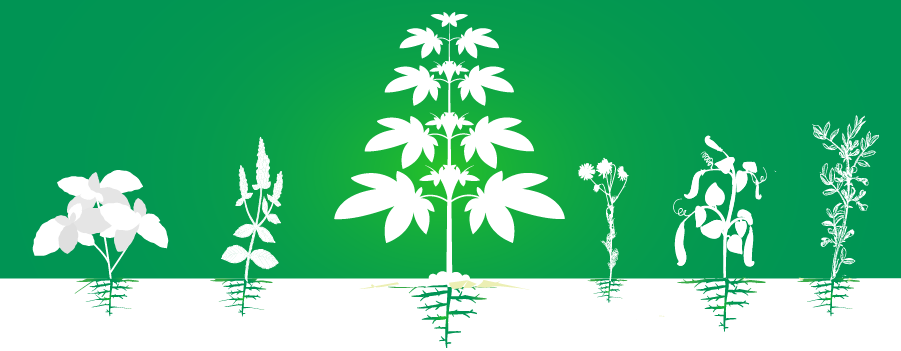 companion cannabis plantation cultivation increase efficiency organic
