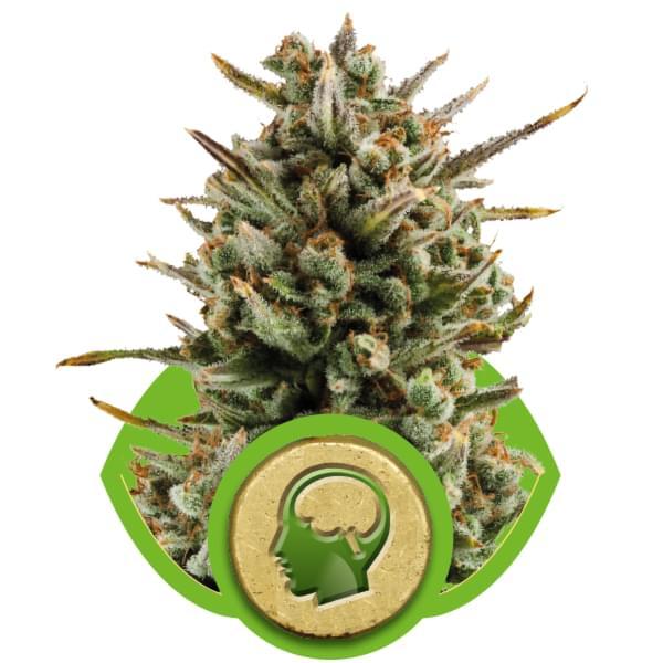 Amnesia Haze Automatic Autoflowering Cannabis Seeds