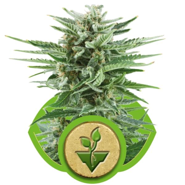 Easy Bud Autoflowering Cannabis Seeds