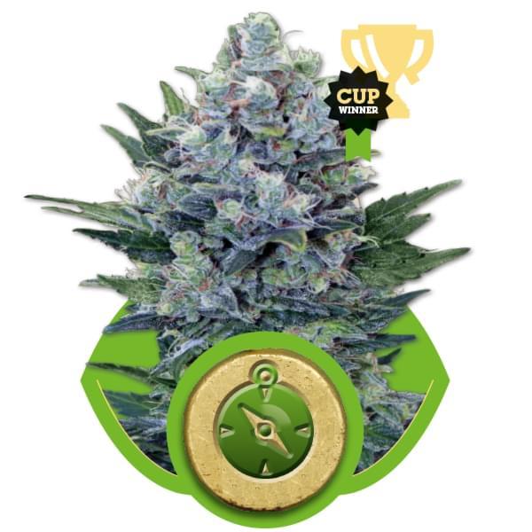 Northern Light Automatic Autoflowering Cannabis Seeds