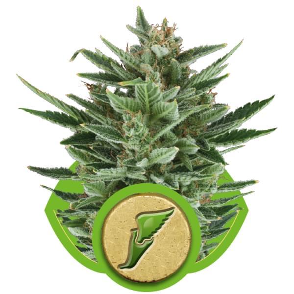 Quick One Autoflowering Cannabis Seeds