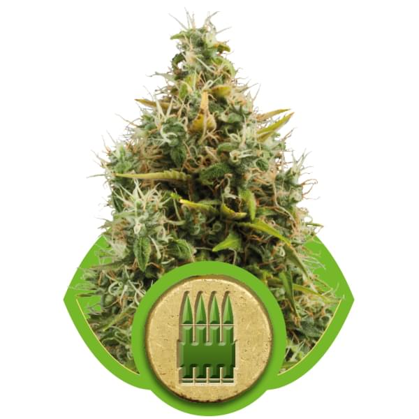 Royal AK Automatic Autoflowering Cannabis Seeds