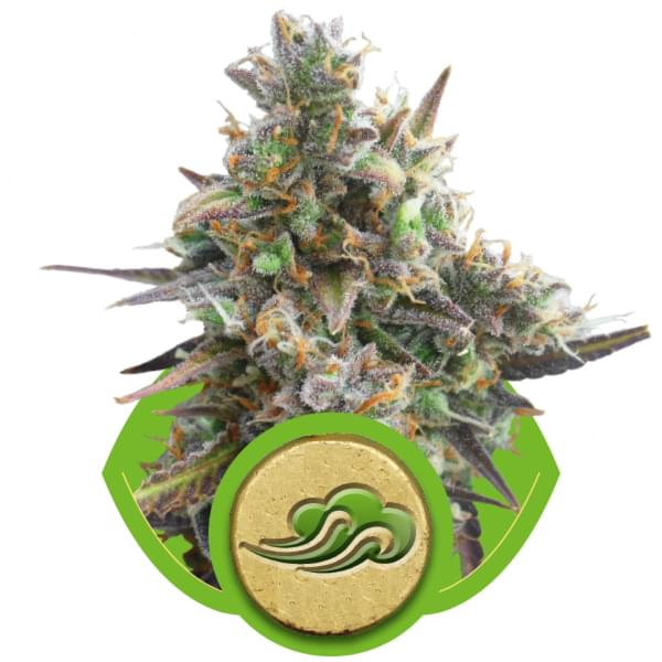 Royal Bluematic Autoflowering Cannabis Seeds