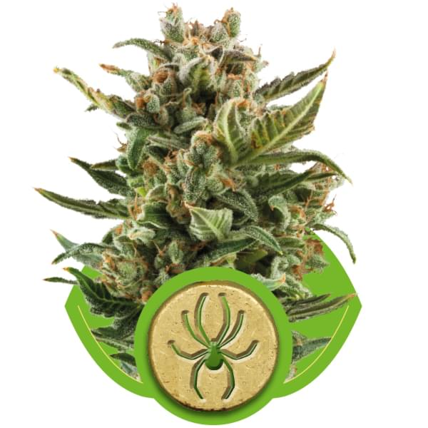 White Widow Automatic Autoflowering Cannabis Seeds