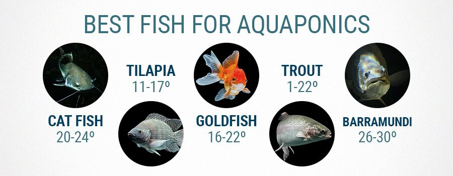 Best Fish For Aquaponics And Cannabis