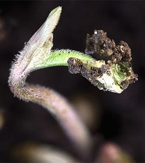 marijuana 12 12 from seed