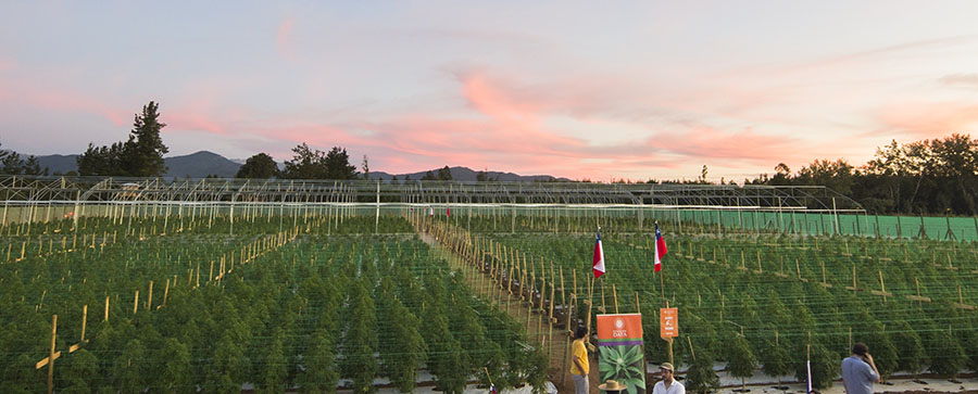 cannabis field Chile