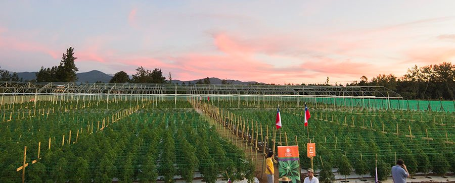 cannabis field Chile
