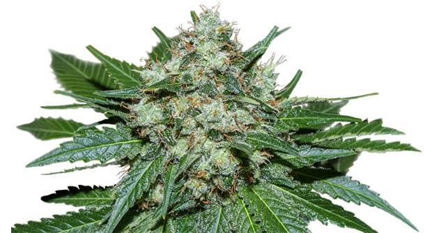 ICE Feminized Cannabis strain