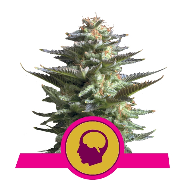 Buy Feminized Amnesia Haze Cannabis