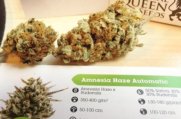 Amnesia Haze Automatic Rook Verslag - RQS Blog