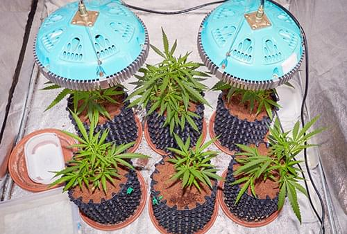 growing cannabis led lights