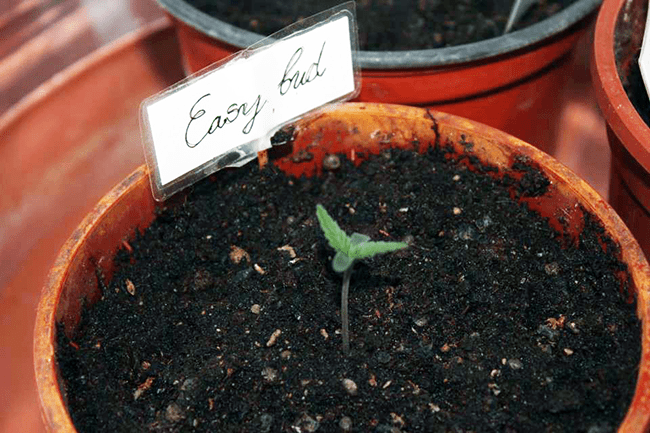 seedling pot cannabis