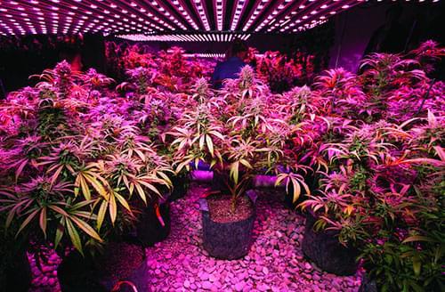 marijuana led lights
