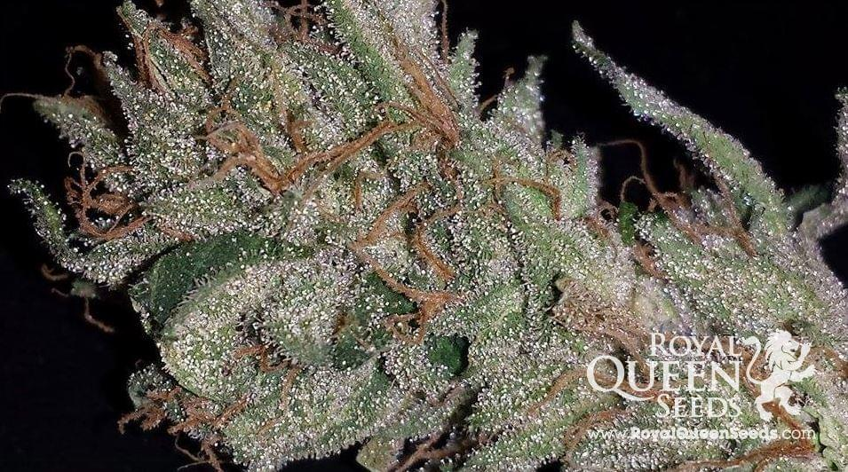 Blue Cheese Cannabis Strains