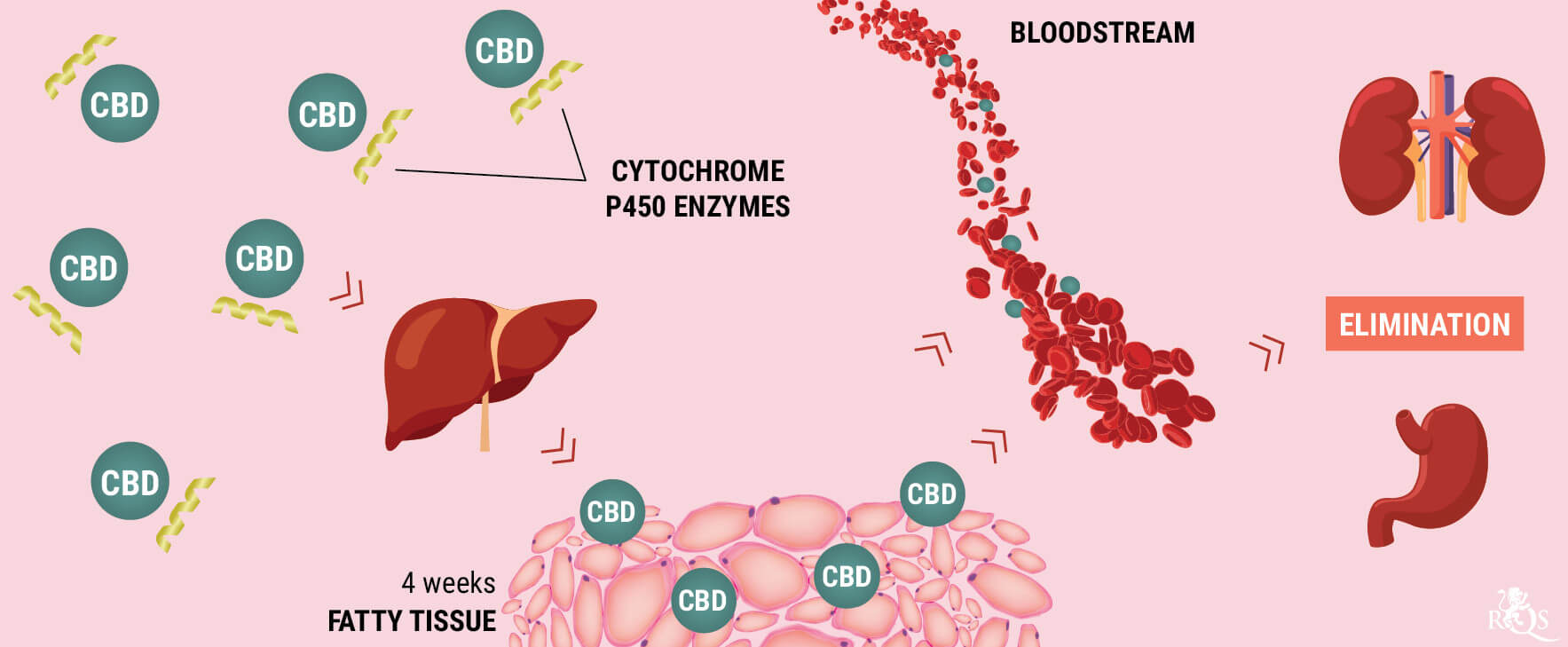 How Does the Body Metabolise CBD?