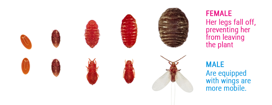 cochineal pest male and female differences